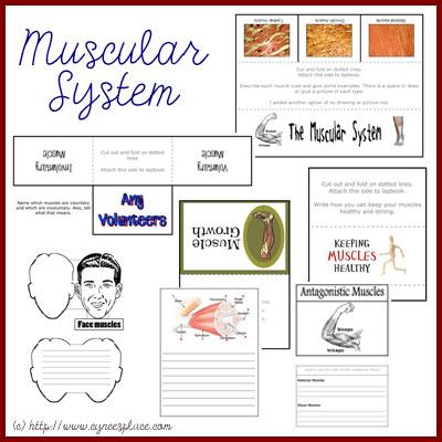 Anatomy Lapbook - Muscular System