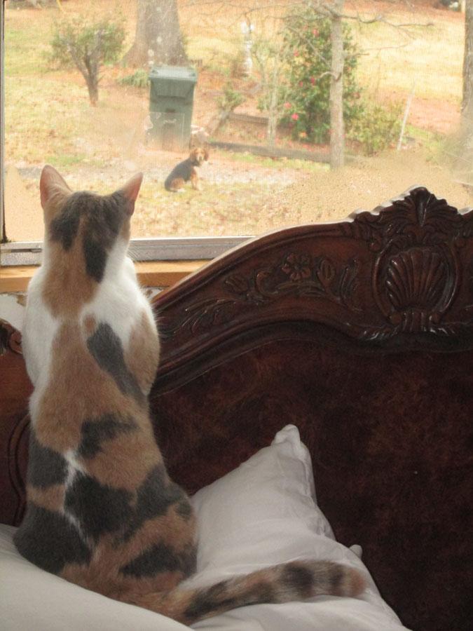 Sundance watching a Beagle
