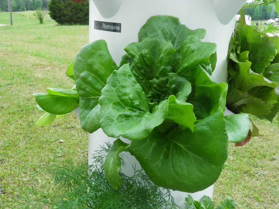 Lettuce Green Crisp